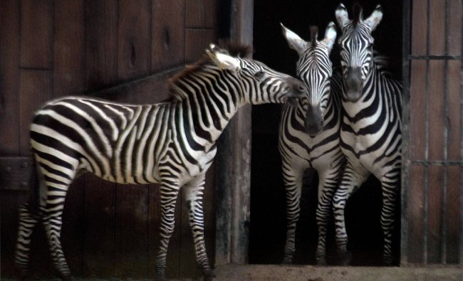 Zebras playing with each other at Kolkata Zoo on Wednesday ...