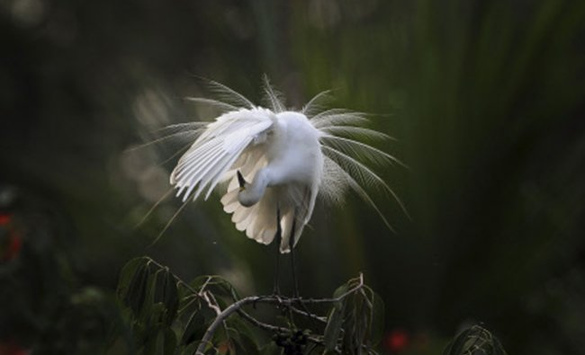 An egret preens itself as it stands on a branch along the River Brahmaputra on the eve of World...