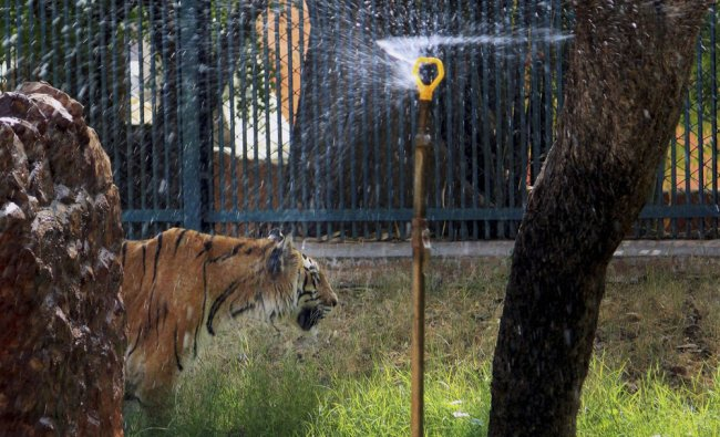 A Royal Bengal tiger standing under a water sprinkler to get respite from the heat ...
