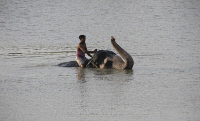 A mahout rides an elephant in the waters of a lake in Jaipur...
