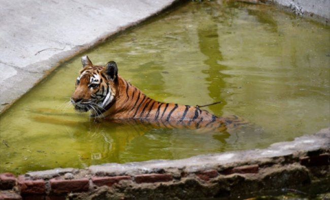 A Royal Bengal Tiger cools itself at a pond inside Delhi Zoo...