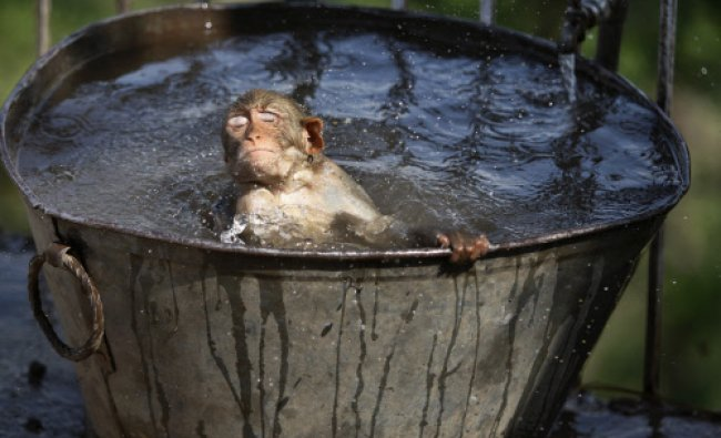 A monkey cools off in a water tub in the premises of a Hindu temple on a hot summer afternoon in...