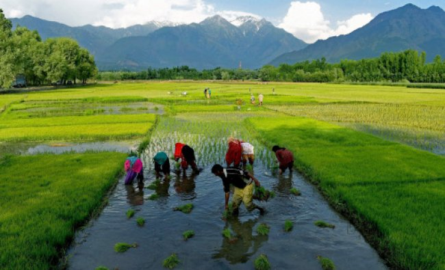Farmers planting paddy saplings in a field on the outskirts of Srinagar on Thursday. Wet weather...