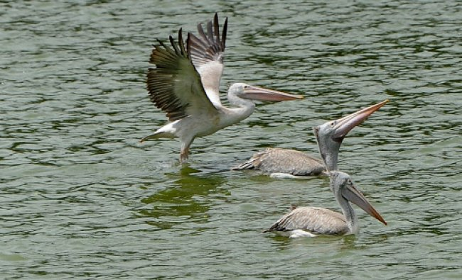 Large number of migrated pelicans arrived at Lalbagh lake in Bangalore on Sunday. DH Photo