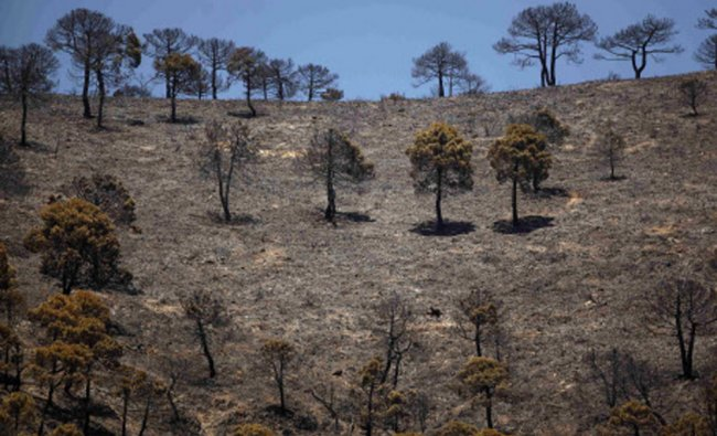 Pine trees are pictured in a burnt area after a wildfire at Sierra de Tejeda nature park...