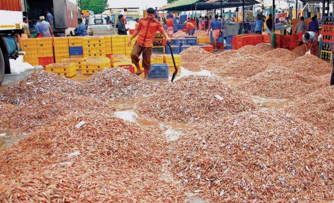 Heaps of prawns at Kochi seashore on Monday...