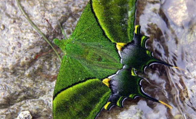 Kaiser-e-Hind, a rare butterfly species in Ziro in Lower Subansiri district of Arunachal Pradesh ...