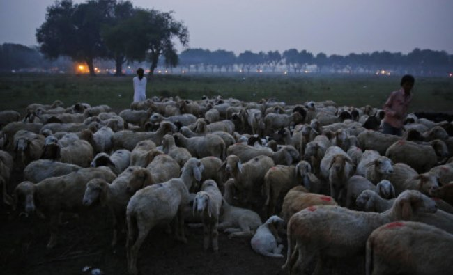 shepherds flock their sheep at dusk after they graze in a field in Allahabad...