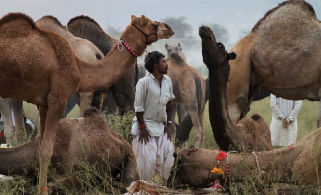 A camel herder stands beside resting camels at the annual cattle fair in Pushkar...