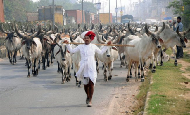 A Rajasthani herder with his cows in Gurgaon...