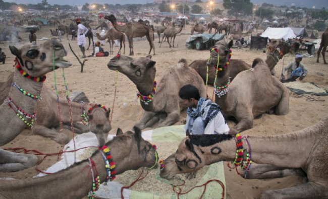 A camel herder sits as he feeds his camels at the annual cattle fair in Pushkar, in the Rajasthan...
