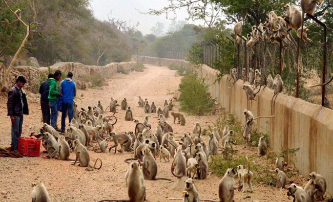 People feed a tribe of monkeys at Punchkund in Ajmer district...