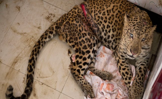 An injured male leopard takes shelter...