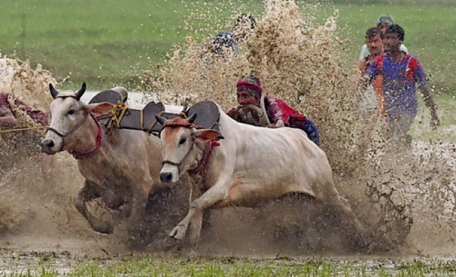 Farmers participate in a bull race at a paddy field in Canning village in South 24 Pargana...