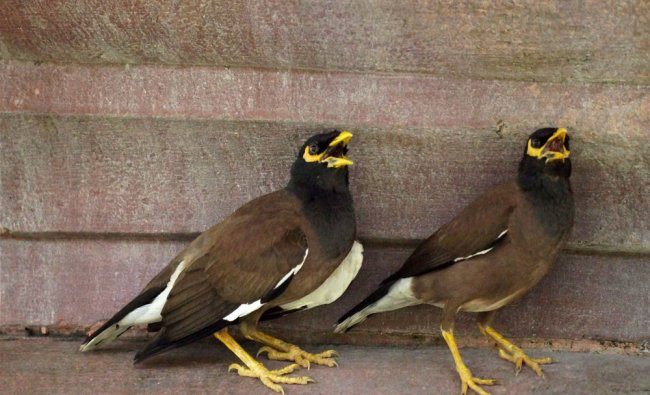 A pair of Myna in New Delhi on Sunday...