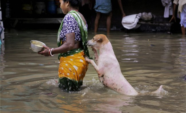 A stray dog takes the support of a woman to cross a flooded street in Kolkata on Sunday...