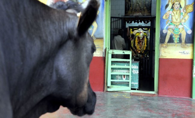 It was cows day at Satyanarayana temple near exhibition authority in Mysuru on Tuesday...
