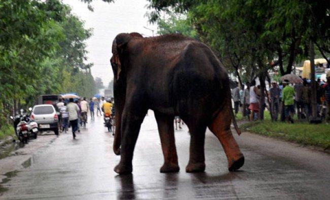 A wild elephant crosses National highway 37 at Beharbari...