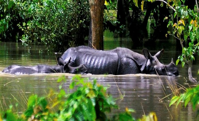 A mother rhinoceros along with its calf cross through flooded water inside the Pobitora wild life...