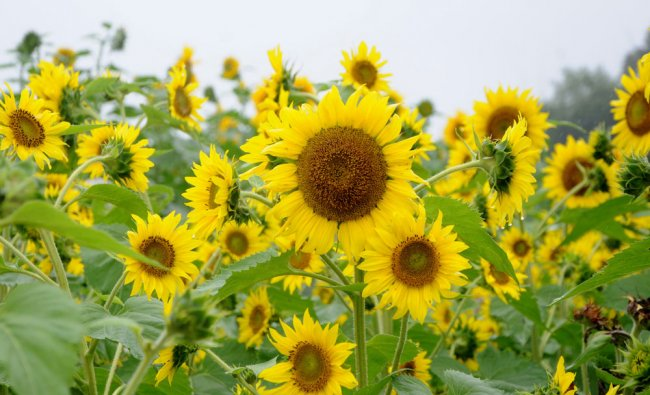 Sunflower crops grown at GKVK campus in Bengaluru...