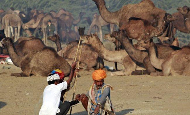 Camel traders wearing traditional headgear rest near their camels at Pushkar Fair...