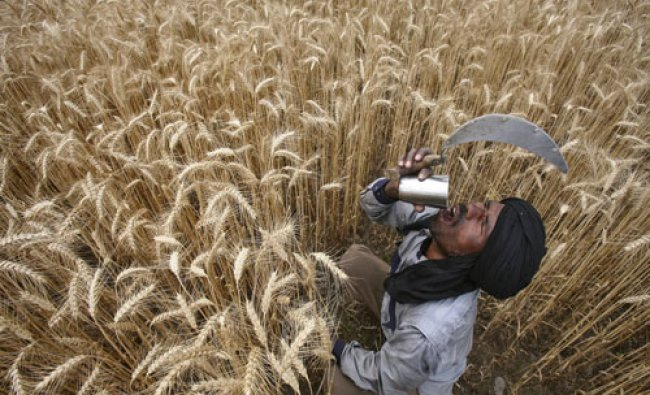 A labourer drinks water while harvesting wheat crop at a field in Jhanpur village of the northern...