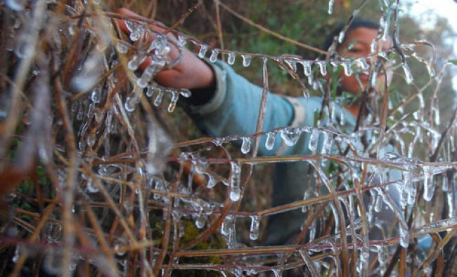 Icicles hang from a bush during a cold day in Shimla on Tuesday...