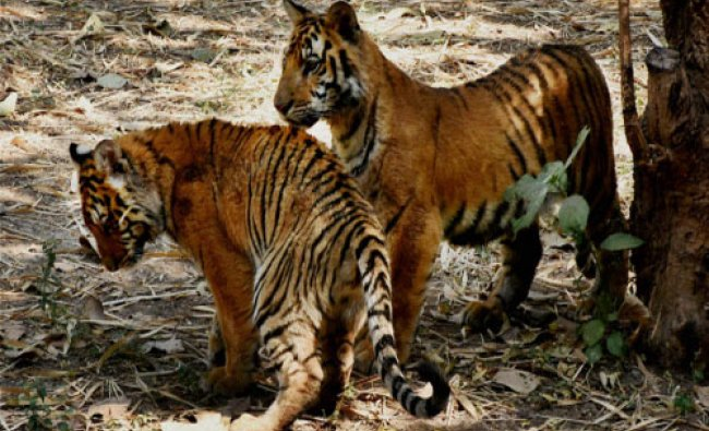 Two tiger cubs in a playful mood at the Surat zoo on Thursday...