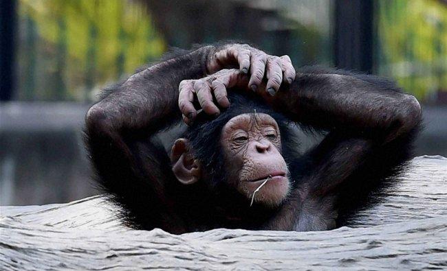 A chimpanzee in its enclosure at Alipore Zoological Garden in Kolkata..