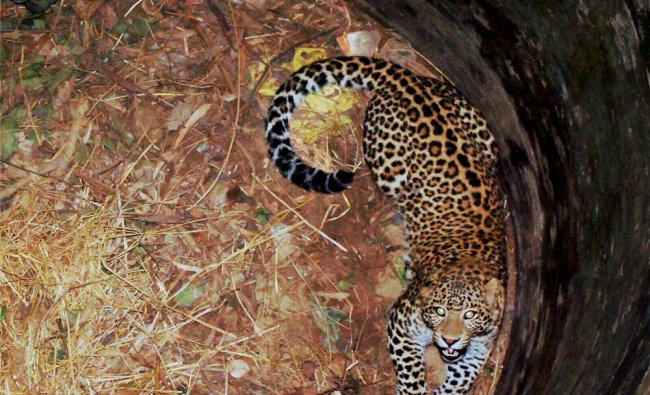 A leopard that had fallen into a 30-foot-deep dry well in Maithanpur village of Amroha district...