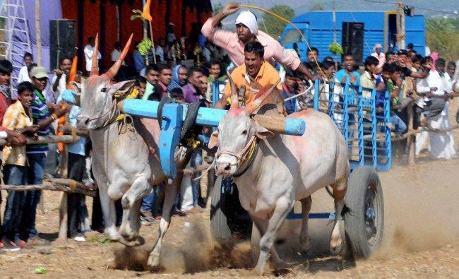 Villagers take part in bullock cart race at gowdanahalli near Chikmagalur in Karnataka...