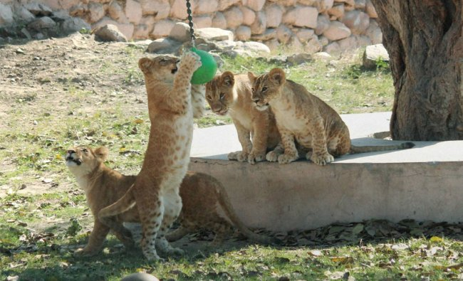 Cubs of lioness Vasundhara playing with a ball near their cave at Lucknow Zoo...