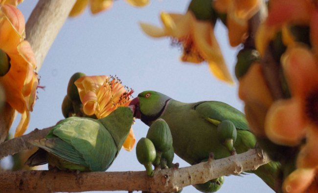 A pair of Parrot sits on a tree branch in New Delhi on Sunday...