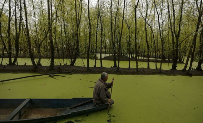 A man paddles his boat along the weed-covered interiors of Nigeen Lake in Srinagar...