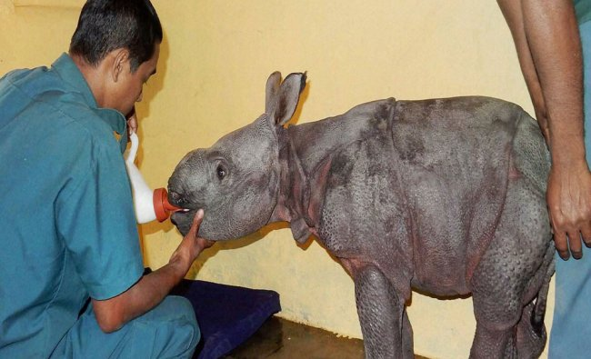 Week-old male rhino calf rescued by the staff of Bagori forest range of Kaziranga National Park..