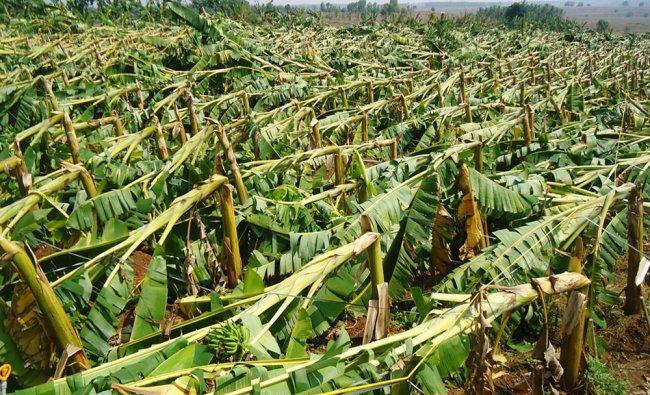Plantain Crop damaged at hunsur due to haevy rain...