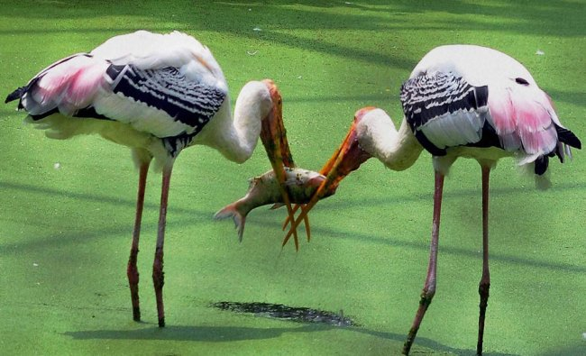 Painted Storks catching fish in a pond at their enclosure in Kolkata Zoo...