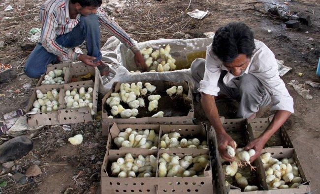 Laborers pack newborn chicks into crates in Jammu...