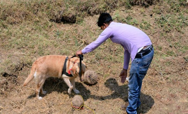 A security person with a sniffer dog inspect two crude bombs recovered near a polling boot...