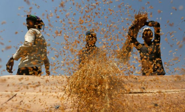 Labourers thrash paddy crop in a field on the outskirts of Ahmedabad...