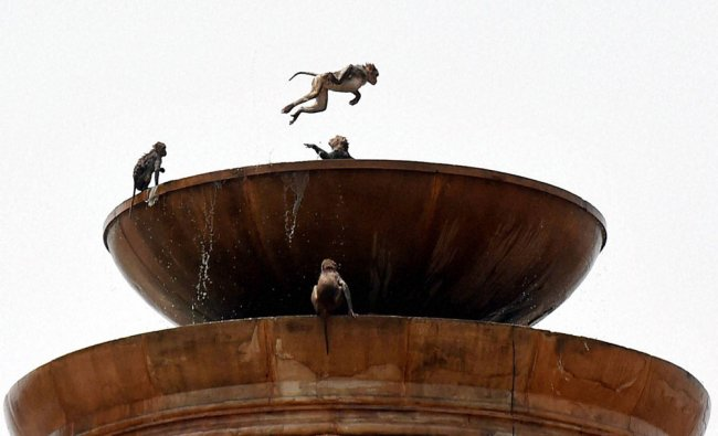A group of monkeys frolic in water to beat the heat at Rashtrapati Bhavan in New Delhi...