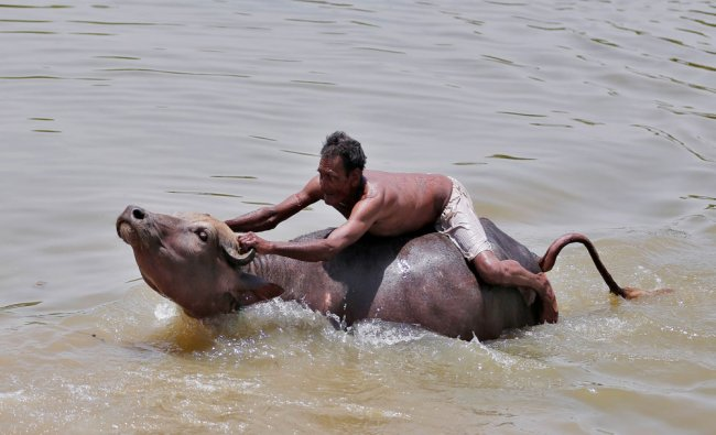 A shepherd tries to control his buffalo in a pond on a hot summer day on the outskirts...