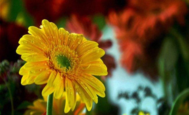 Flowers decorated on stalls at Botanical Garden during \' Kashmir Flower Show \' in Srinagar...