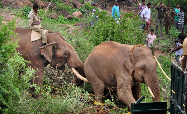 A rogue elephant which had been creating menace, after being captured by the forest officials...