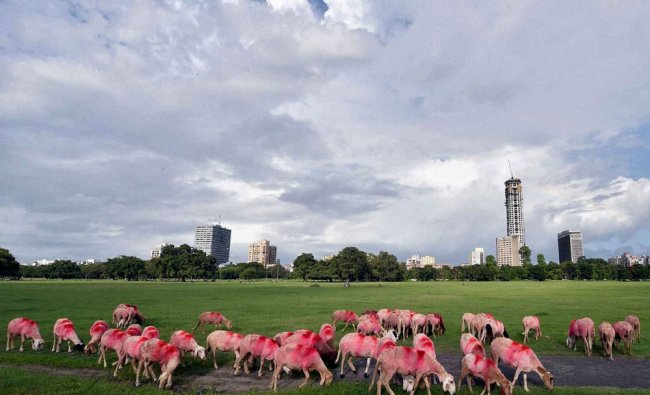 A flock of sheep in Kolkata on Monday...