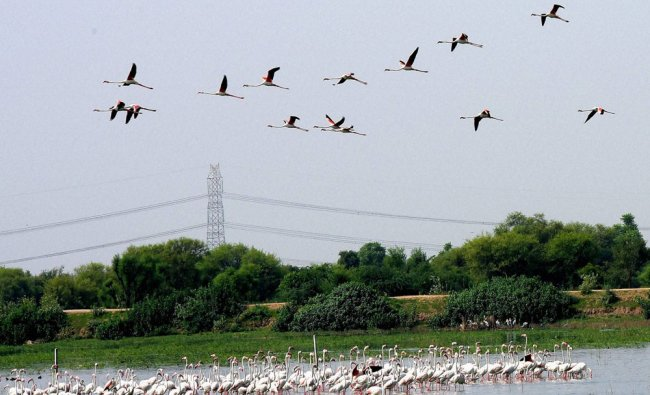 Flamingos fly over Chandlai Lake in Jaipur on Saturday. Flamingos travel thousands of miles...