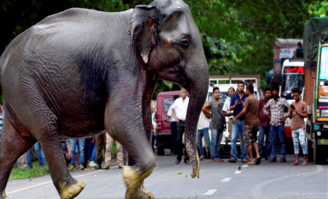 A wild elephant crosses a highway in search of dry land after floods hit Kaziranga National Park...