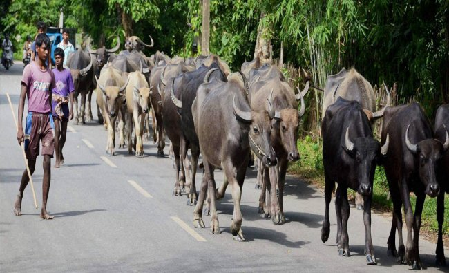 Buffaloes being herded to a safer place from flood affected Singimari Village in Kamrup district...