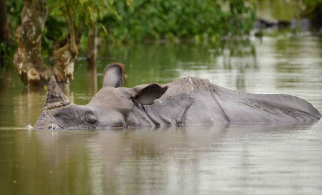 A One-horned Rhino swims through flood waters in Kaziranga National Park in Assam on Wednesday...