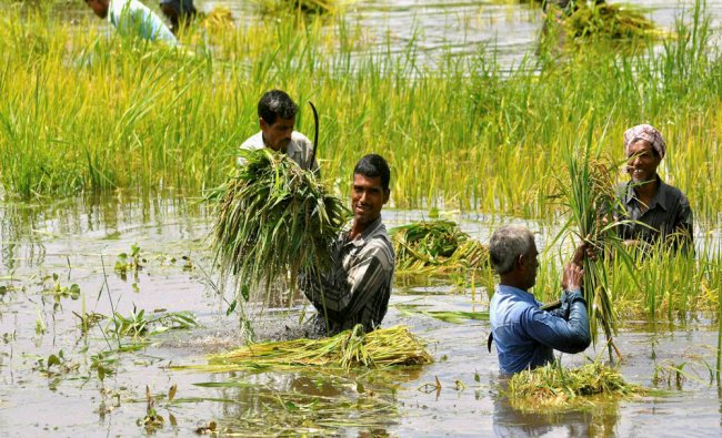 Farmers cutting the ripened paddy plants in a flooded locality at Hajo in Kamrup district...